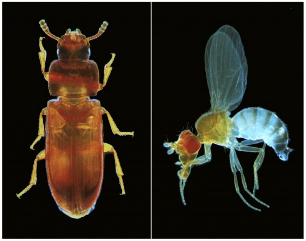 تولید ژنتیک با استفاده از حشرات