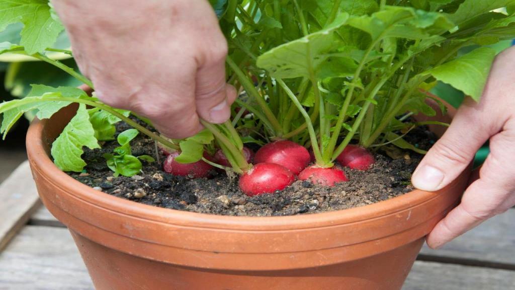 آموزش کامل کاشت تربچه در گلدان منزل و نکات مراقبت از تربچه در گلدان
