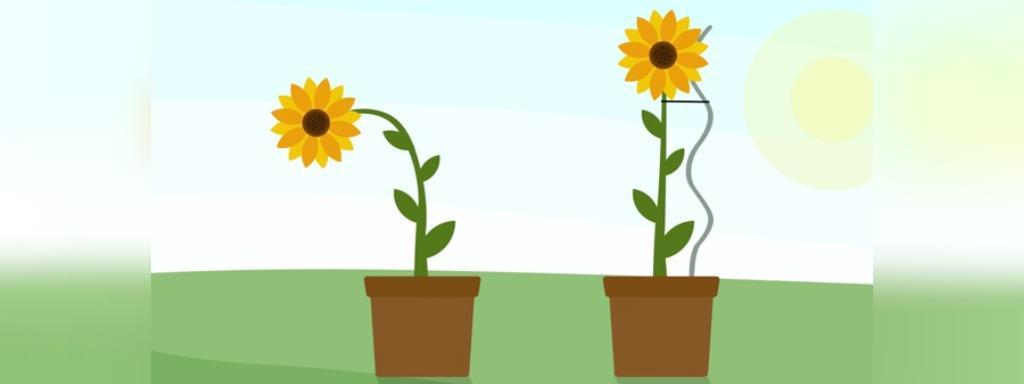 اقدامات لازم جهت نگه داری از گل آفتابگردان در گلدان