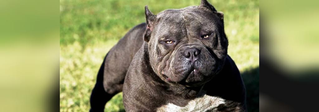سگ پیت بول