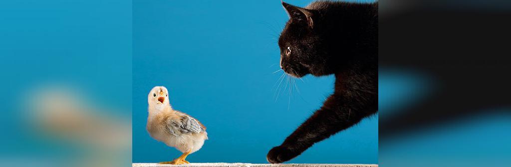 زبان گربه ها: جیر جیر کردن