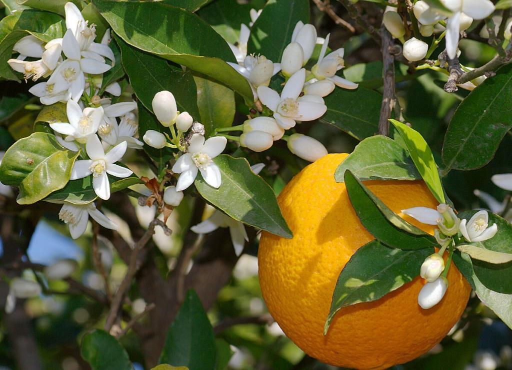 بهار نارنج برای لطافت و نرمی پوست