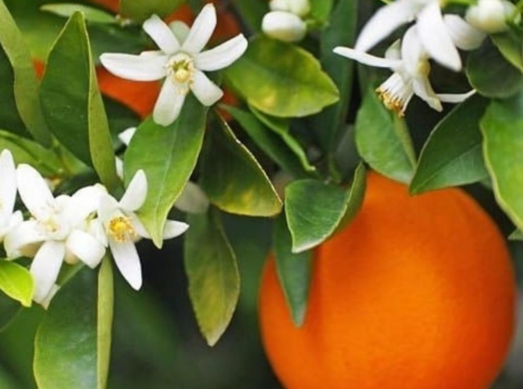 طرز تهیه شربت بهار نارنج خانگی