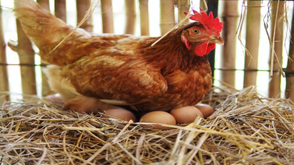 مرغ کرچ (کپ) چیست ؛ فواید و مضرات کرچ شدن مرغ