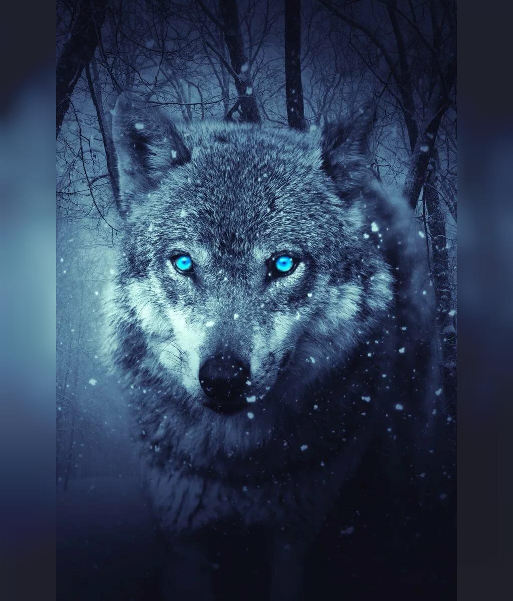 عکس های زیبای گرگ برای پروفایل