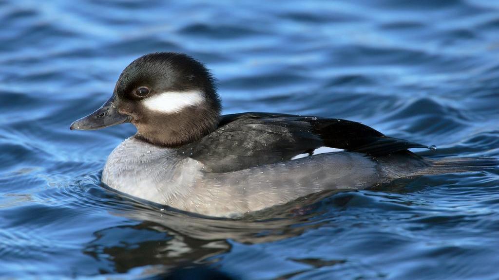 آموزش تصویری و قدم به قدم تشخیص اردک نر و ماده