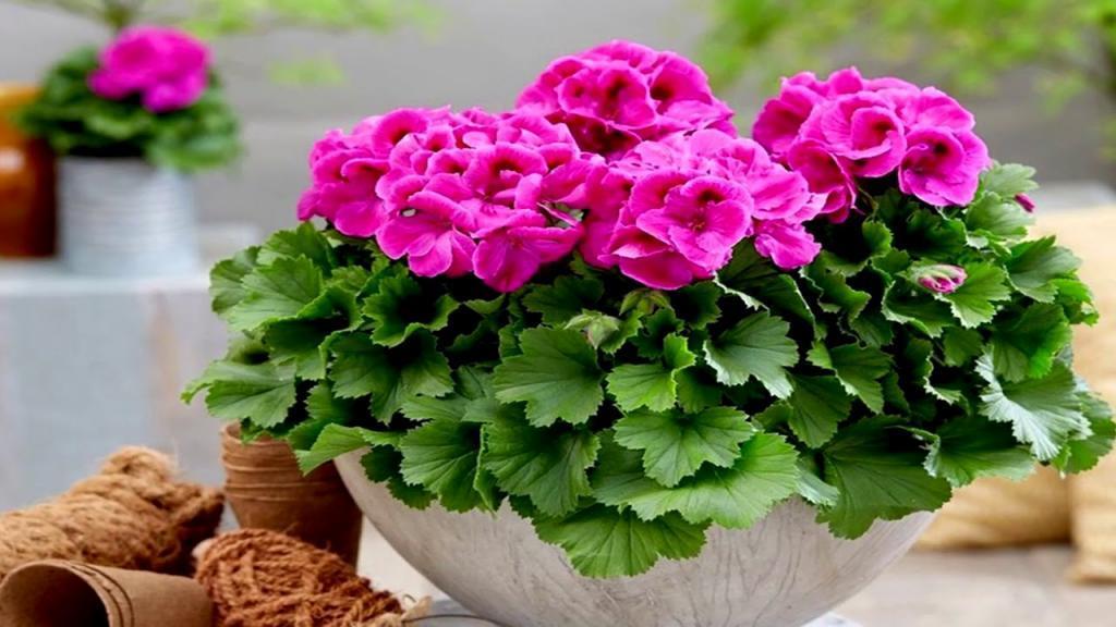 پرورش، تکثیر و قلمه زدن شمعدانی + طرز نگهداری گل شمعدانی
