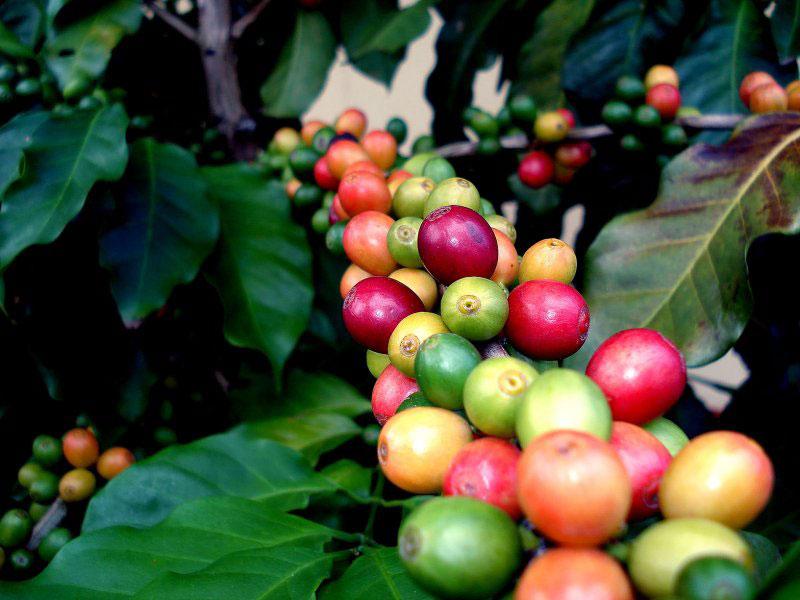 میوه های قهوه بر روی شاخه
