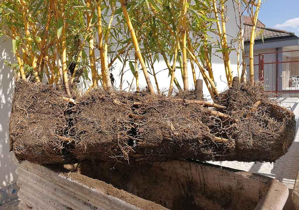 قلمه زنی و تکثیر بامبو از طریق تقسیم ریشه