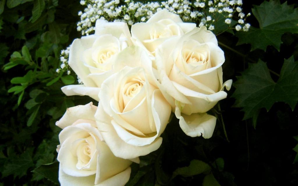 معنی گل رز سفید چیست؟