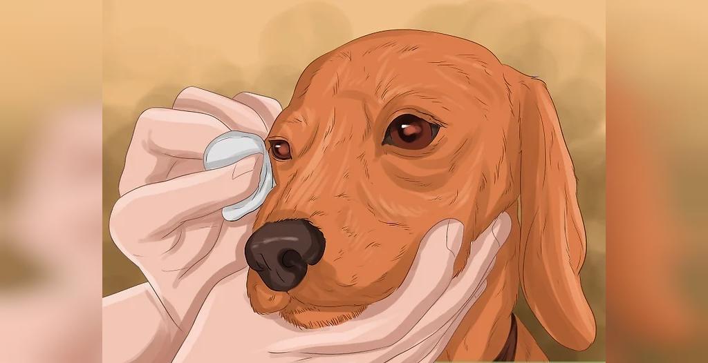 درمان عفونت چشم سگ