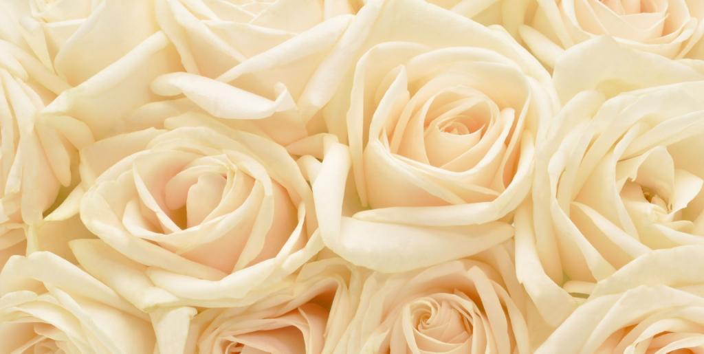 معنی گل رز شیری رنگ