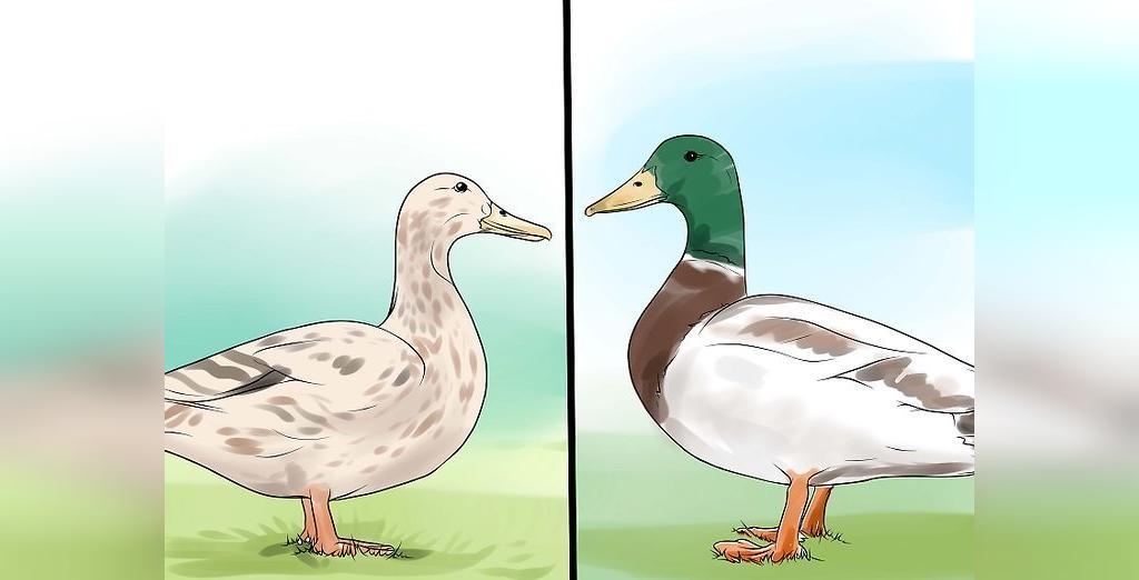 راه تشخیص جنسیت اردک از روی اندازه