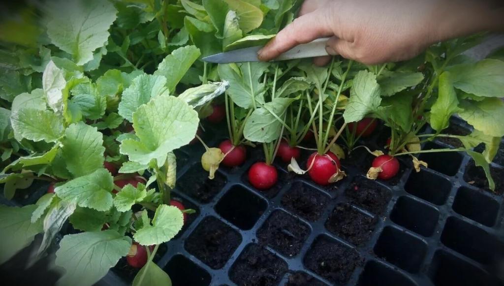 اندازه گلدان برای کاشت تربچه در گلدان و فاصله کاشت