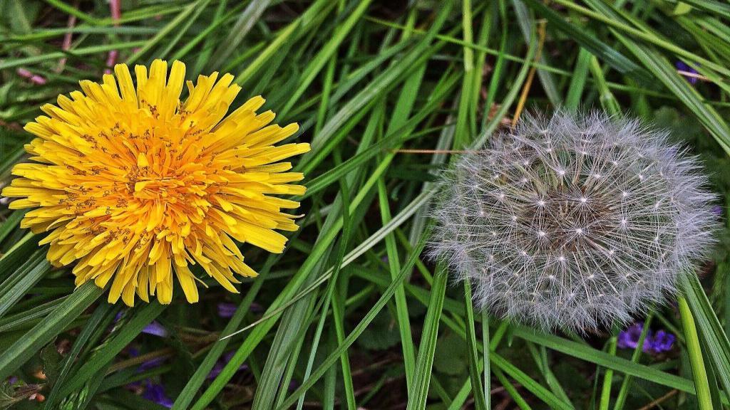 13 فایده و خواص بالقوه گل قاصدک برای سرطان، لاغری و سلامتی