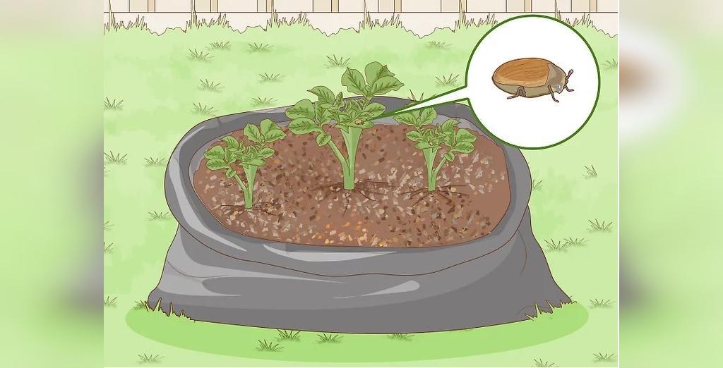 جلوگیری از حشرات از مرحله مراقبت از سیب زمینی