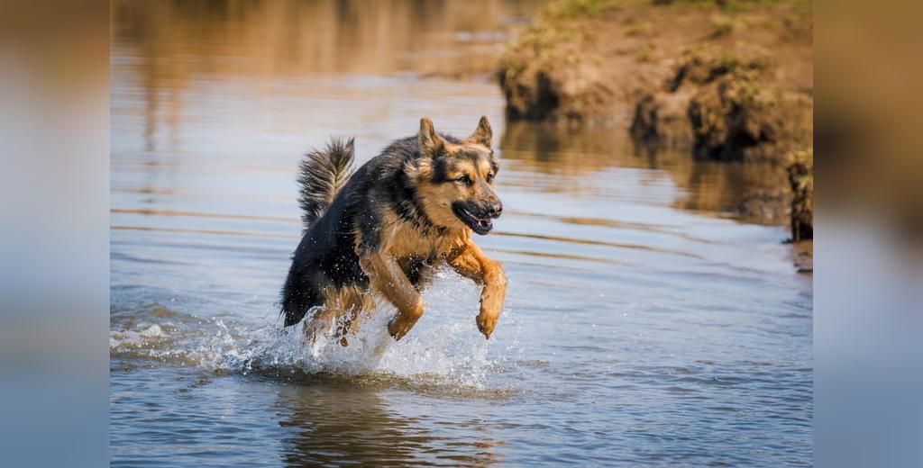قدرتمندترین نژاد سگ های پلیس