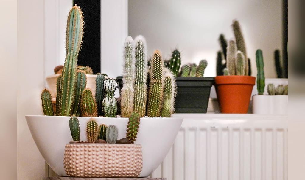 انواع کاکتوس ها مناسب برای محیط های آپارتمانی