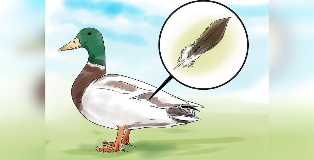 روش  تشخیص اردک نر و ماده از روی رنگ پر و بال