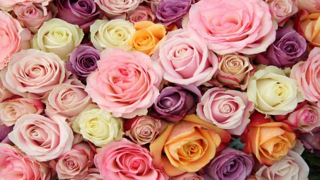 13 رنگ مختلف گل رز: کاربردها و معانی متفاوت هر یک از آنها