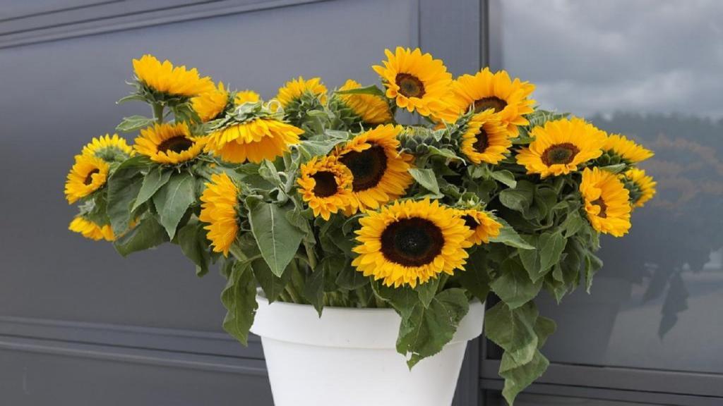 چگونه گل آفتابگردان را در گلدان پرورش دهیم، روش کاشت و مراقبت از گل آفتابگردان در گلدان