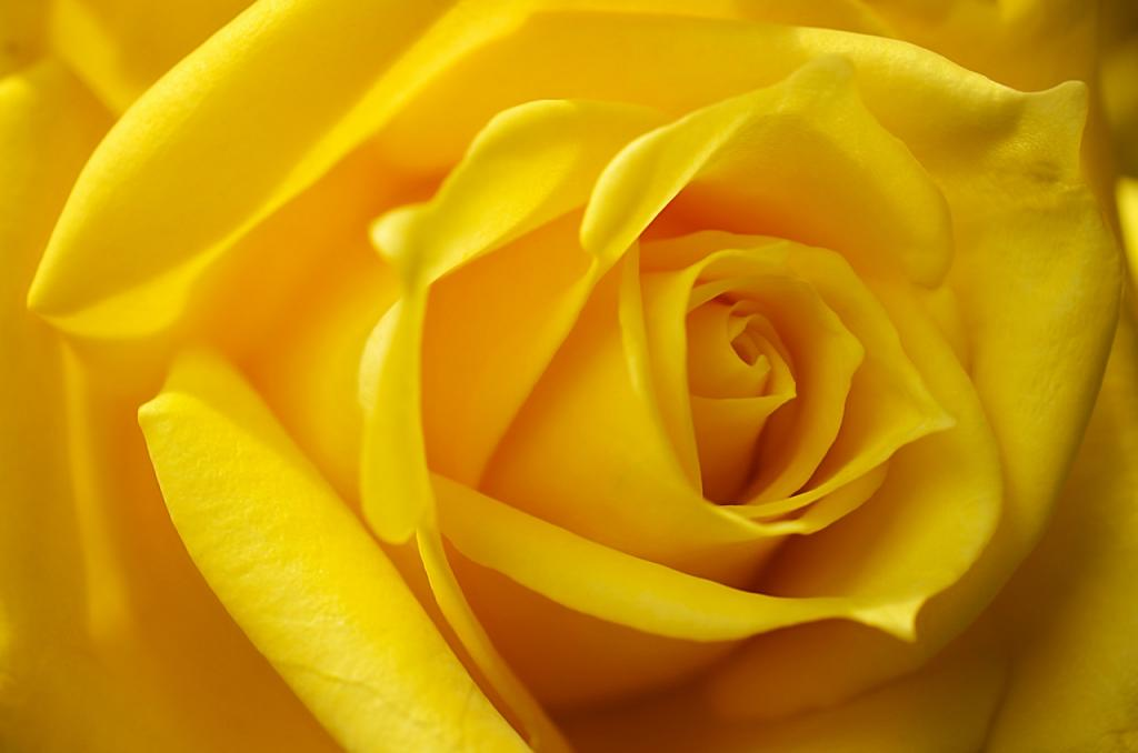 گل رز زرد نمایانگر چیست