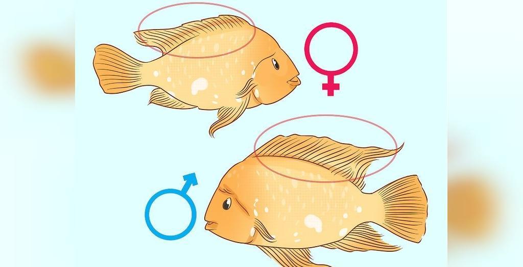 جنسیت ماهی اسکار و خانواده سیکلید