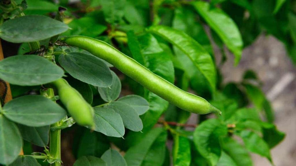 شرایط لازم و روش کاشت لوبیا سبز در باغچه و طرز نگهداری آن
