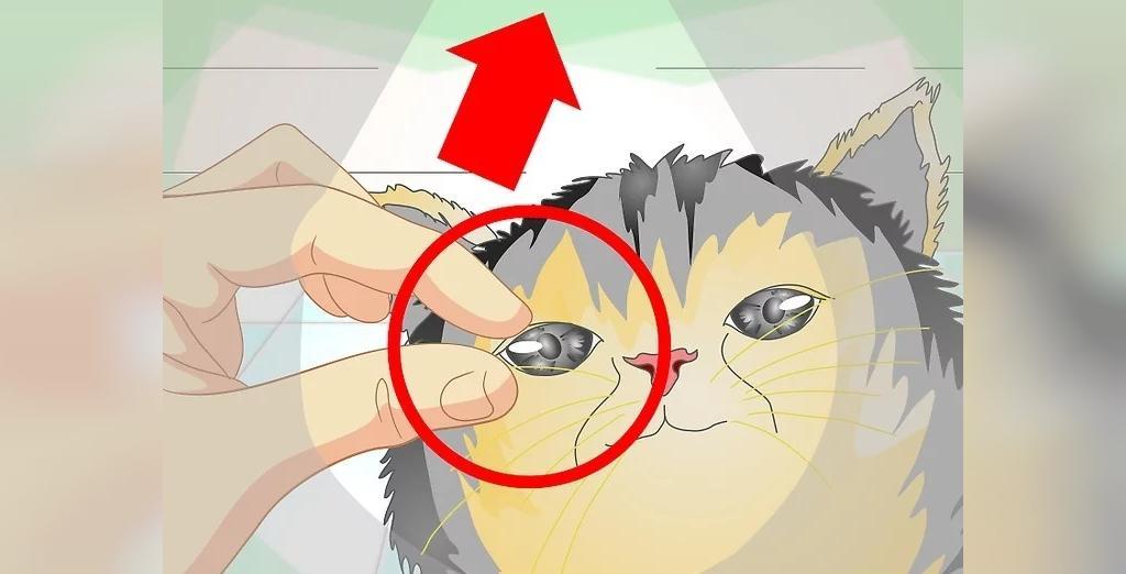 چشمان گربه را در روز روشن برای علائم عفونت بررسی کنید