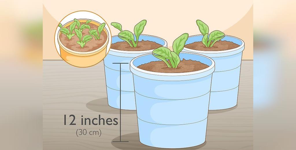 برای پرورش بیبی اسفناج، پس از این که جوانه ها دارای 4 برگ شدند، آنها را به گلدان های مجزا منتقل کنید