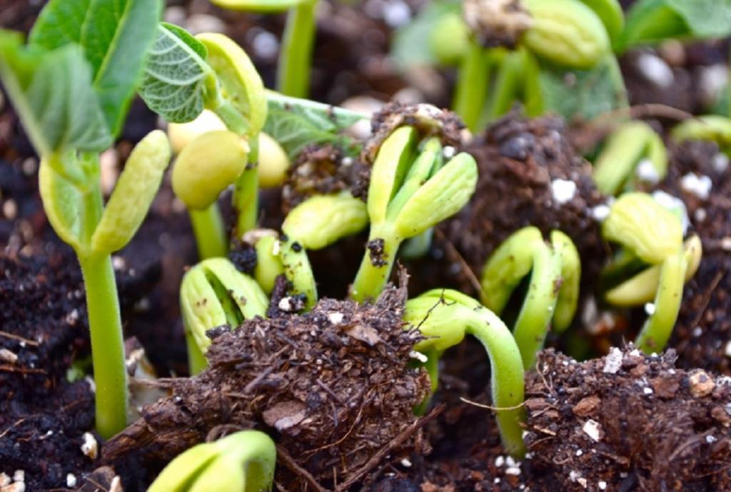 خاک مناسب کاشت لوبیا در گلدان