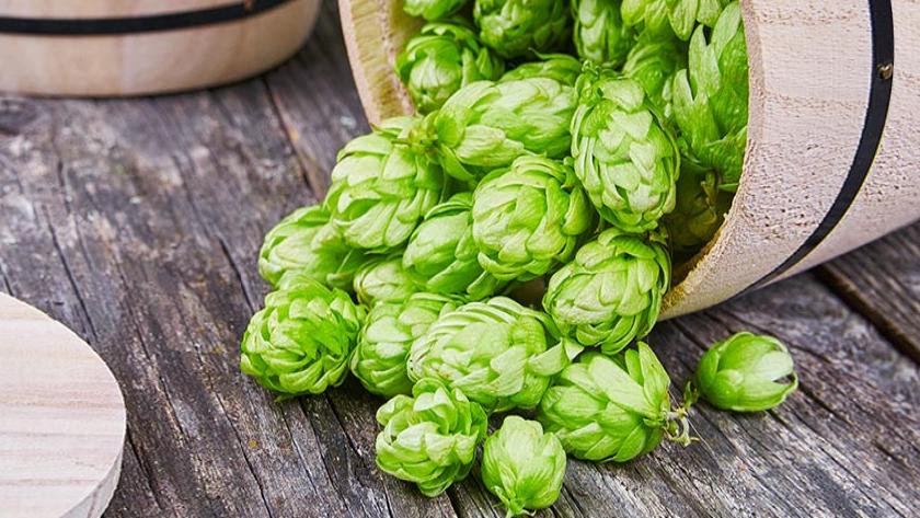 16 فایده شگفت انگیز گیاه رازک برای پوست، مو و سلامتی