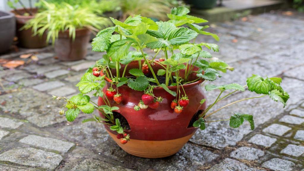 آموزش کاشت توت فرنگی در گلدان در خانه گام به گام و ساده