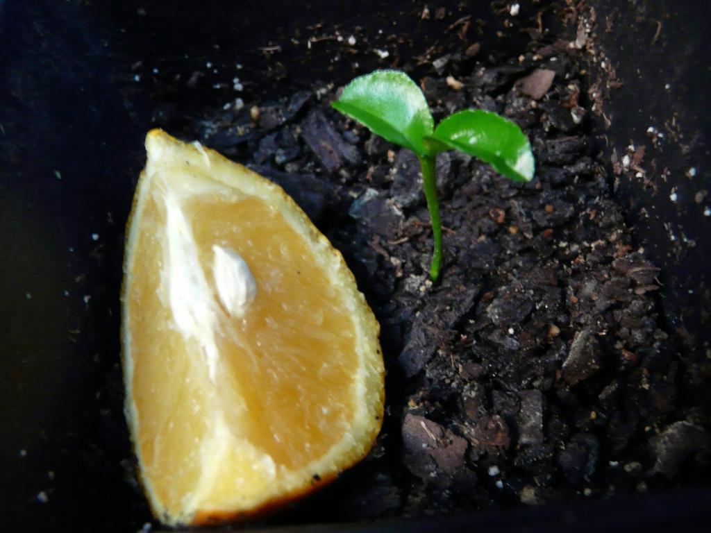 نحوه درست کردن سبزه عید با هسته مرکبات