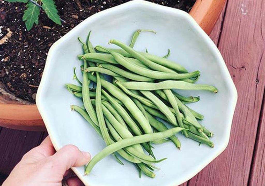 زمان برداشت لوبیا سبز در گلدان
