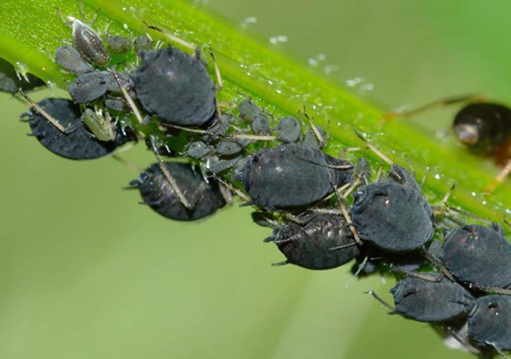 بیماری های گیاه لوبیا سبز