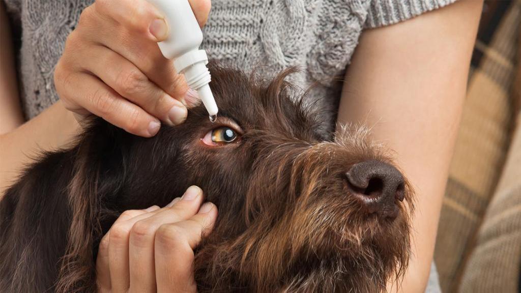 روش تشخیص و درمان قرمزی و عفونت چشم سگ + راه پیشگیری از آن