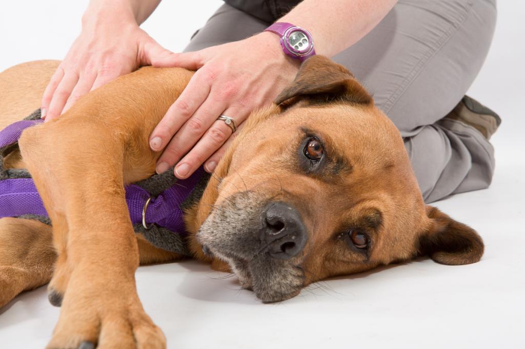 داروهای خانگی برای استفراغ سگ