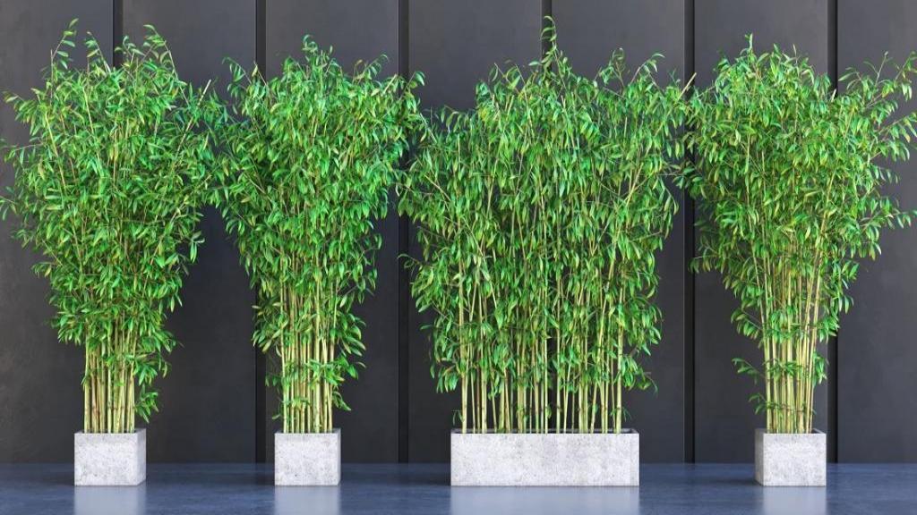 پرورش و کاشت گل بامبو در گلدان و روش مراقبت از خیزران در گلدان