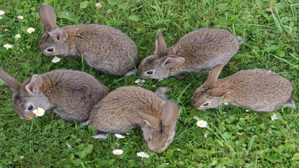 روش تشخیص بارداری خرگوش؛ نشانه های حاملگی خرگوش چیست؟