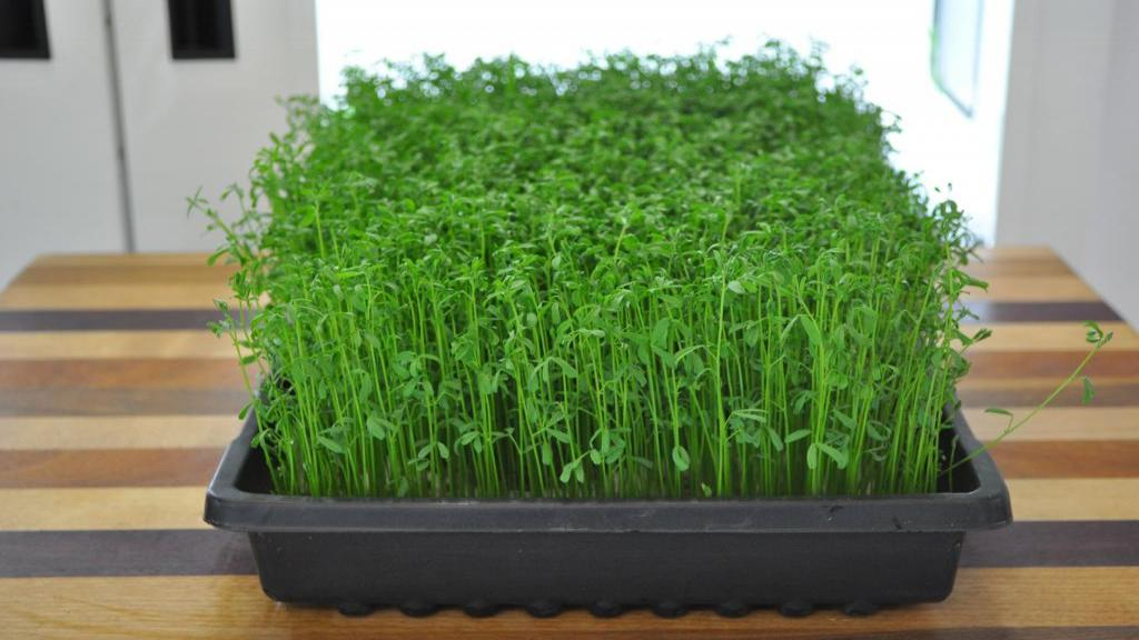 طرز تهیه سبزه عدس برای عید ؛ آموزش سبز کردن عدس برای هفت سین