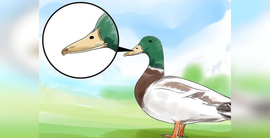 روش تشخیص اردک نر و ماده از روی رنگ منقار