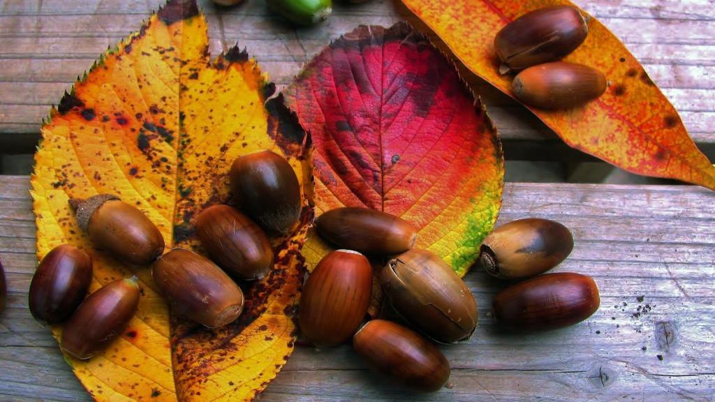 خواص بلوط برای سلامتی، معده و پوست + ارزش غذایی و کاربردهای سنتی آن