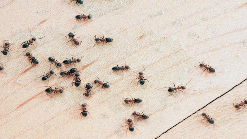 فراری دادن مورچه ها از خانه با 3 ترفند ساده و فوری