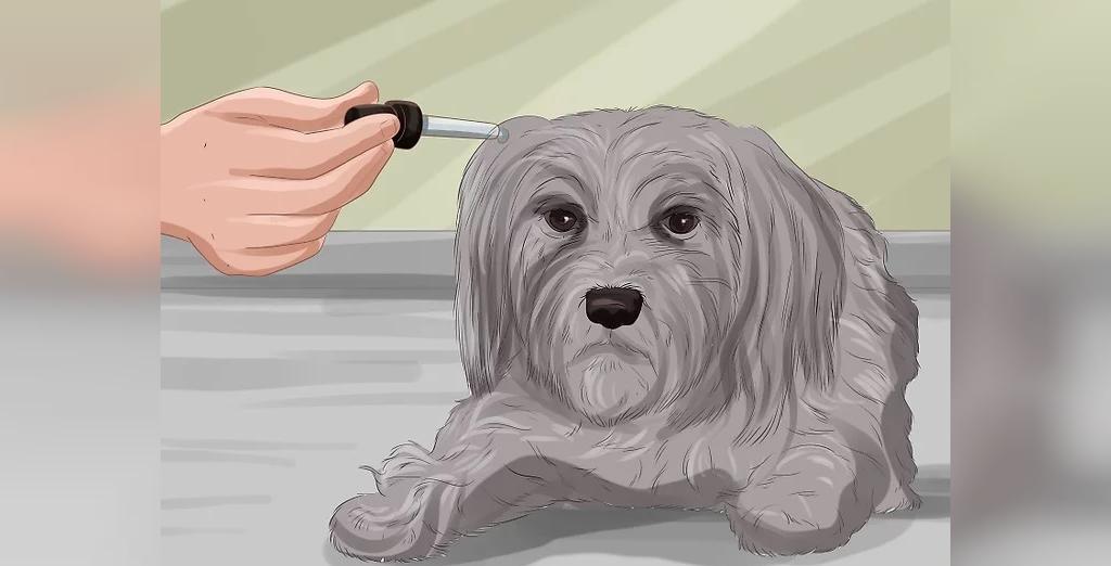 درمان عفونت چشم سگ با محلول نمکی