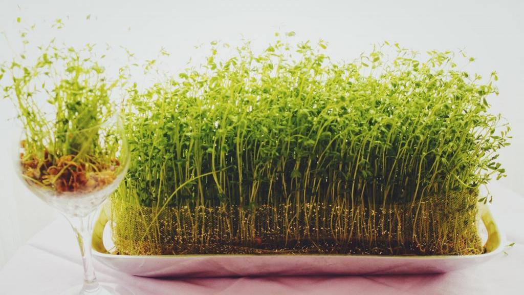 آموزش کاشت سبزه عید با خاکشیر روی کوزه ؛ نحوه سبز کردن خاکشیر