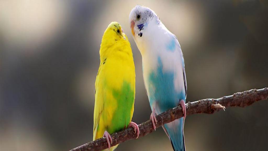 چگونه از طوطی عشق مراقب نماییم؟ (روش های نگهداری از طوطی عشق در منزل)