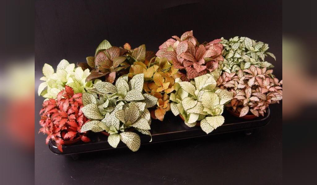 گل فیتونیا از گیاهان آپارتمانی مقاوم