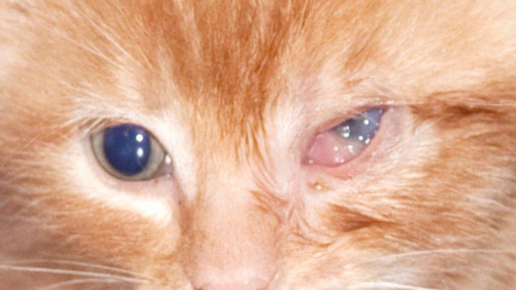 روش های تشخیص، درمان و پیشگیری از عفونت چشم گربه و بچه گربه