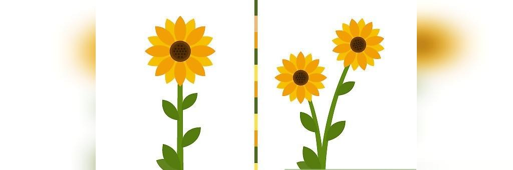 کاشت گل آفتابگردان در گلدان